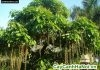 cây cảnh phong thủy