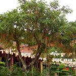 cây lộc vừng cây cảnh phong thuy