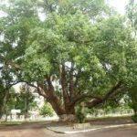 cây cảnh bóng mát