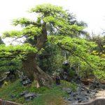 cây me bonsai cao 1m