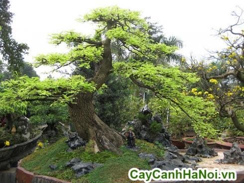 cây me bonsai