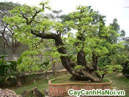 cây me