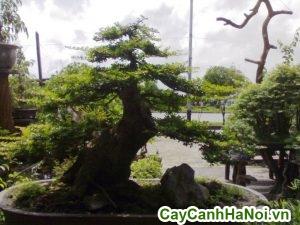 cây me bonsai trang trí sân vườn
