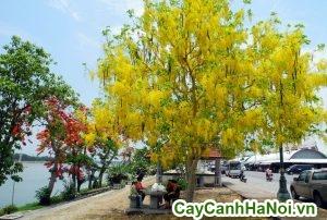 cây osaka vàng
