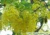 cây muống hay còn gọi là cây bò cạp nước