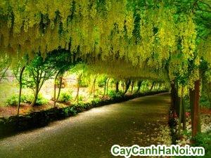 cách trồng cây muồng hoàng yến