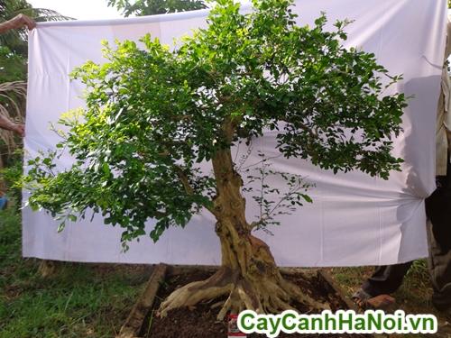 cây nguyệt quế