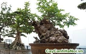 cây ổi