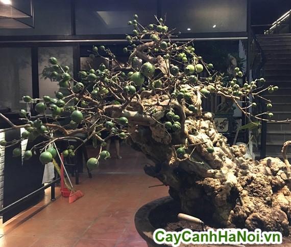 Cây ổi bonsai