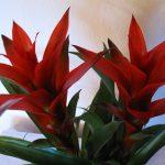 cây dứa cảnh nến đỏ