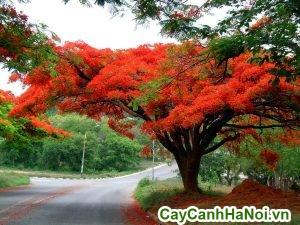 cây phượng vĩ trang trí sân đường phố