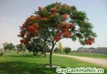 cách trồng cây phượng vĩ