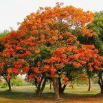 cây phượng vĩ chữa được nhiều bệnh đặc trị