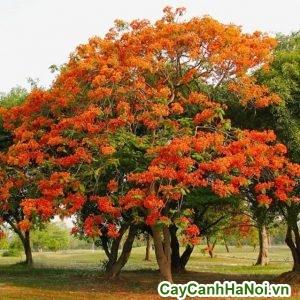 cây phượng vĩ có nhiều tác dụng mà nhiều người không biết