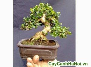 cay sam nui trái bonsai