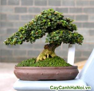 cây sam nui bonsai