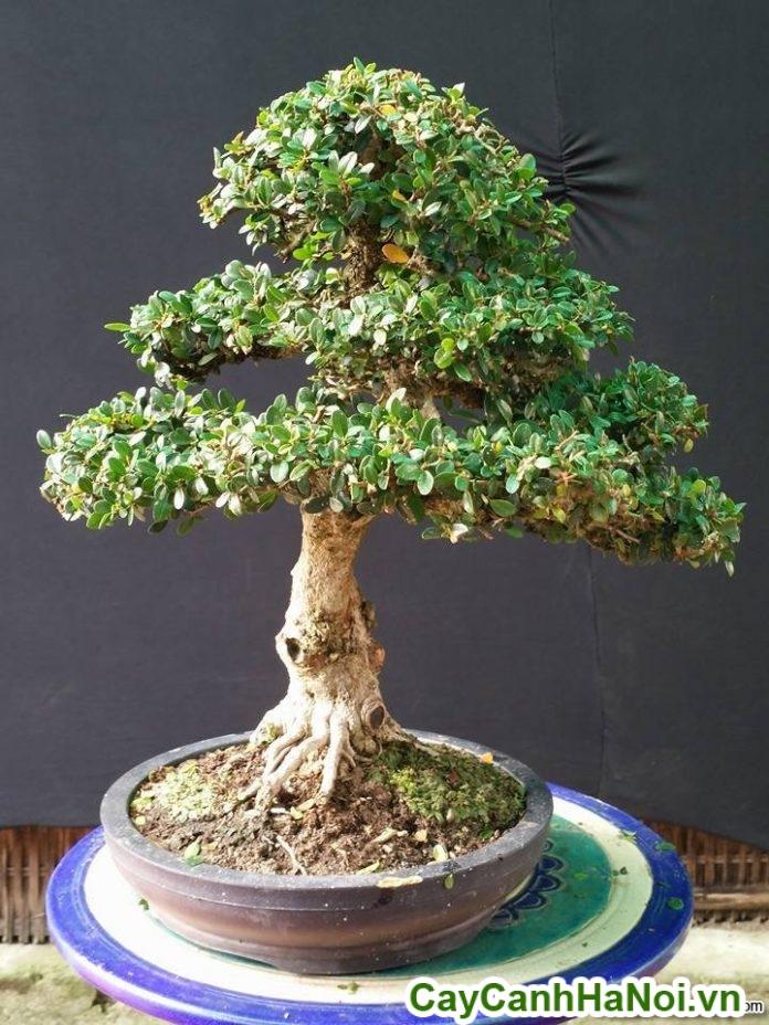 cây sam núi