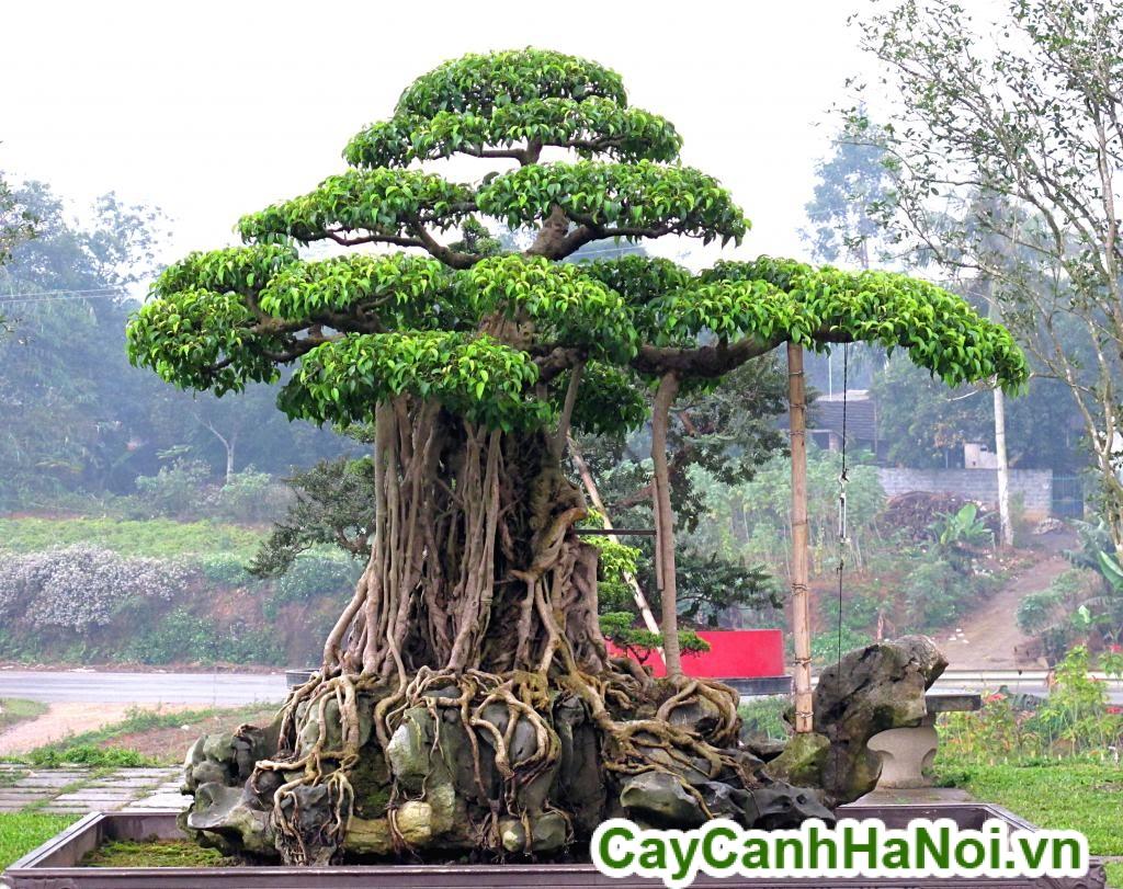 cây sanh tầng bonsai