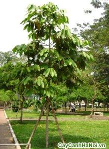 cây cảnh hoa viên