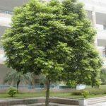 cây sấu trang trí sân vườn