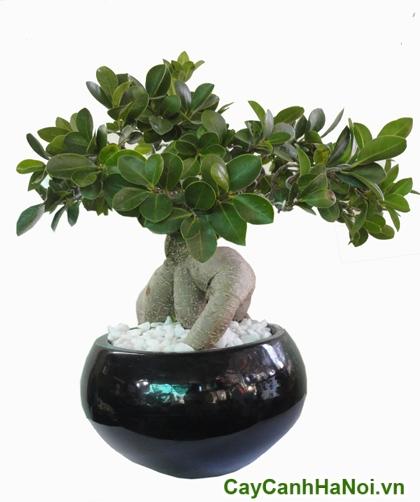 cây si bonsai