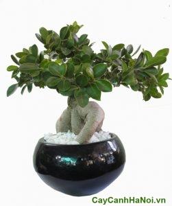 cây si bonsai để bàn