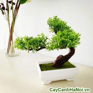 cây si bonsai trang trí