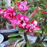 cây sứ thái bonsai