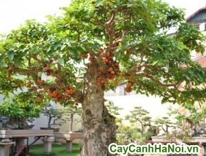 cây sung bonsai