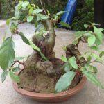 cây sung bonsai trang trí