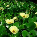 cây thủy quỳnh là cây thủy sinh