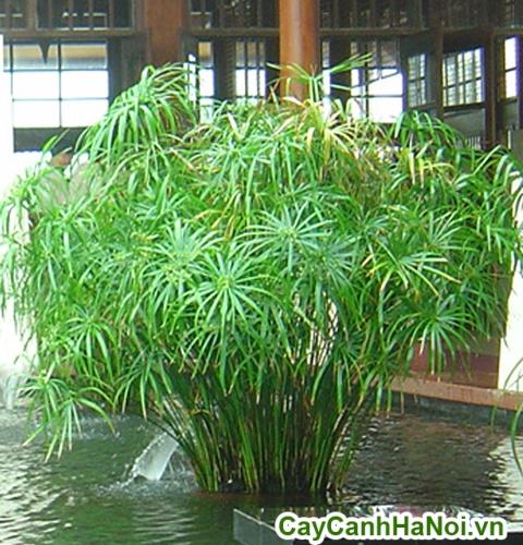 cây thủy trúc