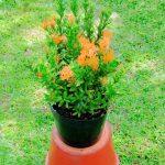 cây trang cam bonsai