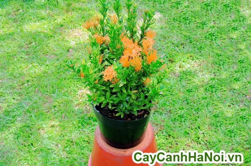 cây trang cam