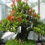 cây trang đỏ bonsai trang trí nội thất