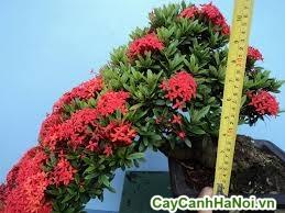 cây trang đỏ