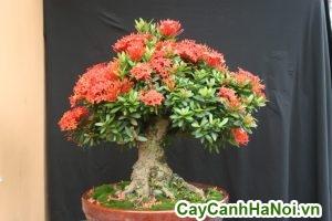 cây trang đỏ bonsai