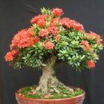 cây trang hồng bonsai