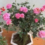 cây trang hồng bonsai trang trí