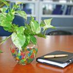 cây trầu bà vàng đặt ở văn phòng