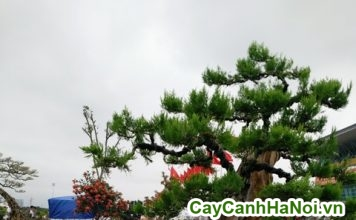 cây cảnh trang trí