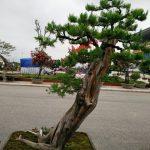cây tùng lá kim bonsai cao 1m