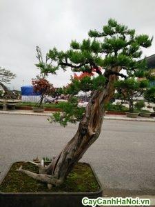 cây túng lá kim bonsai