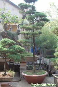 cây tùng lá kim bonsai cao 1,6m