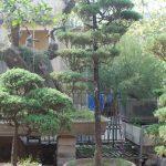 cây túng lá kim bonsai dáng bay trang trí