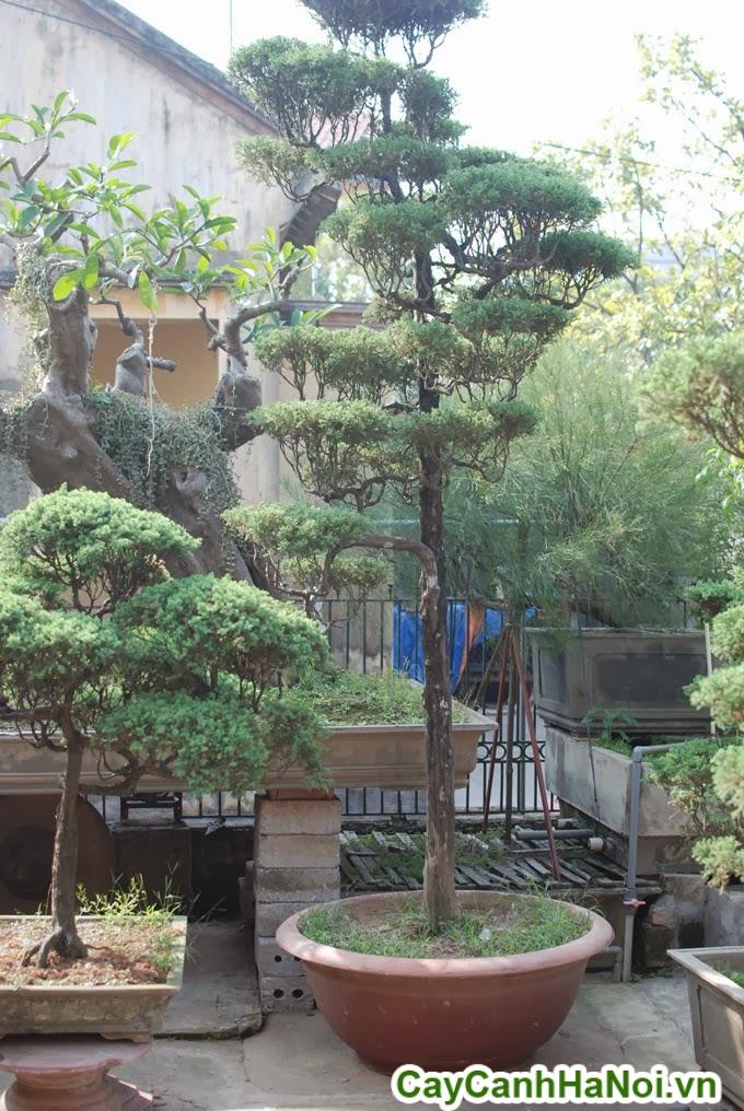 cây tùng lá kim bonsai
