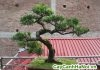 cây túng lá kim bonsai dáng bay