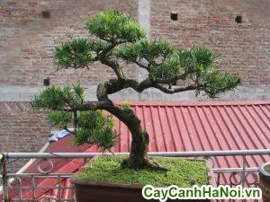 Cây Vạn Niên Tùng Bonsai Cao 1m