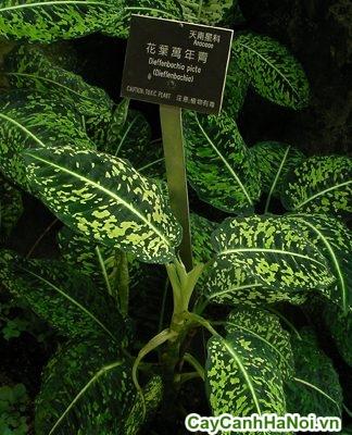 cây vạn niên thanh có độc