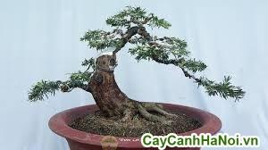 cây vạn niên tùng bonsai dáng bay trang trí sân vườn